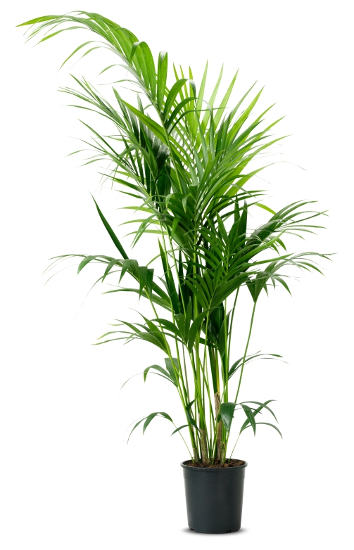 HOWEA FORSTERIANA, Potted Plant, £39